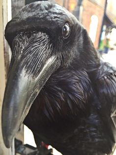 A friendly raven at the Tower of London, by Twitter user @RavenMaster1