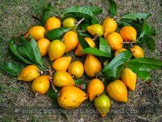 Practical Gardening: DIY Fruit Harvester Picker - Four Prongs Garden Rake, Garden Tools, Fruit Picking, Kinds Of Fruits, Apple Fruit, Harvester, Small Trees, Pomegranate, Gardening Tips