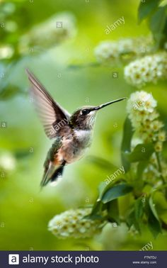 Download this stock image: Green Garden Hummingbird - FTNTDJ from Alamy's library of millions of high resolution stock photos, illustrations and vectors.