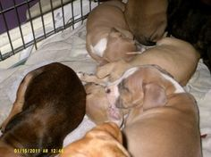 blue champine red and tri pups for sale in Wirral. Used second hand Dogs for sale in Wirral. blue champine red and tri pups available on car boot sale in Wirral. Free ads on CarBootSaleMerseyside online car boot sale in Wirral - 7615