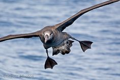 Black-footed Albatross, Phoebastria nigripes: Oregon Pelagic | Nature Notes