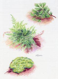 Waldorf ~ 5th grade ~ Botany ~ Mosses ~ main lesson book