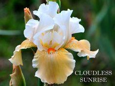 TB Iris germanica 'Cloudless Sunrise' (Niswonger, 1983) .................. Rebloomer