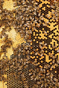 Bees convert nectar into honey and cover it in honeycombs by Urs Siedentop &…