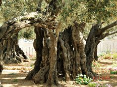Garden of Gethsemane, wth olive trees 1000s of years old. Jesus suffered here tremendously, before He was falsely tried and convicted and later crucified.