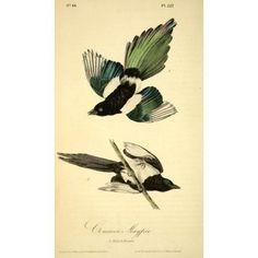 Birds of America 1844 Common Magpie Canvas Art - JJ Audubon (18 x 24)