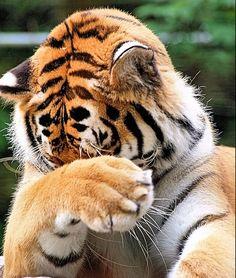 Tiger_hiding_medium
