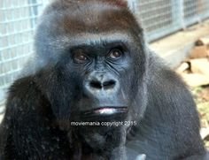 Thinking Ape in Color Silver back Gorilla Animal by moviemania