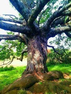 Lazio - Ciliegio - Prunus avium (L.) L. - Montecompatri (Roma) - 20-7-16- .Giuseppe Rigucci (61)