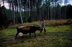 Farmers Want Laws Eased: Raw Milk Summit Challenges Vermont Regulations      Lisa McCrory, of Bethel, Vt., leads her Jersey cow Cocoa to the pasture's edge to milk it early in the morning on Oct. 27, 2013. Milking the cow once a day, McCrory said she gets about 2 1/2 gallons of raw milk a day to sell to neighbors and for use by her family at Earthwise Farm and Forest. McCrory is among the farmers taking part in Rural Vermont's Raw Milk Summit in Bethel, Vt. (Valley News - Geoff Hansen)
