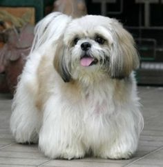 Shih Tzu.. :) - Click image to find more Animals Pinterest pins