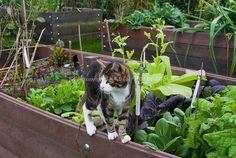 Raised Bed Vegetable Garden   Farm cat tabby pet in garden   Plant & Flower Stock Photography ...