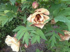 De prachtige bloemen van de Chinese boompioen, hebben we in 2012 geplant. Ze hebben een bordorood hart. Deze Chinese pioenen zie je ook vaak op Chinese tekeningen.