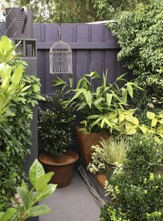 Jenni Woodruff's exquisite garden | GardenDrum Rich gold foliage is set off against a purple painted timber fence