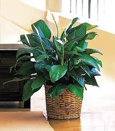 A Peace Lily Plant - Medium