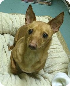Chihuahua/Dachshund (Chiweeie) D.J. is looking for a forever home and currently available for adoption at the Humane Society of New York.
