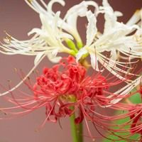 Red Spider Lilies Golden Spider Lilies White Spider Lilies Magic Lilies Surprise Lilies Resurrection Lilies Lycoris Radiata L Red Spider Lily Lily Umbel