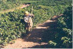 PROF: CARLINHOS GOUVEIA EM VEJA MARILIA SP.: MARILIA ORGULHO EM PRODUÇÃO DE CAFÉ