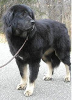 Tibetan Mastiff Rescue, Inc. - Rosie's Rescue Success Story - Click on Pic