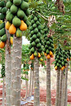 Frutas Tropicais #fruits #papaia #mamão