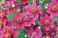 Coreopsis Limerock Ruby- PCOLR photo