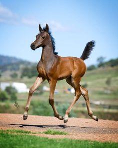 'Kavalle Mi' as a foal Beautiful Arabian Horses, Most Beautiful Horses, All The Pretty Horses, Beautiful Creatures, Animals Beautiful, Cute Animals, Horse Photos, Horse Pictures, Cute Baby Horses