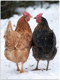 Poules - Hens