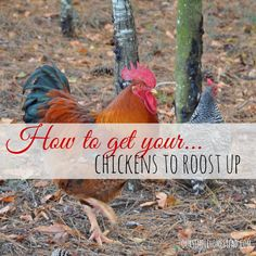 How To Get Your Chickens To Roost Up