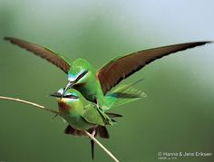 bee eaters birds | Blue-cheeked Bee-eater (Merops persicus) A pair mating.