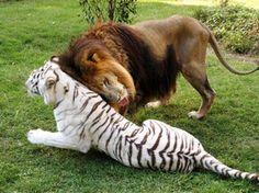 Leão 'Cameron' e tigresa 'Zabu' formam casal inusitado. (Foto: Barcroft Media/Getty Images)