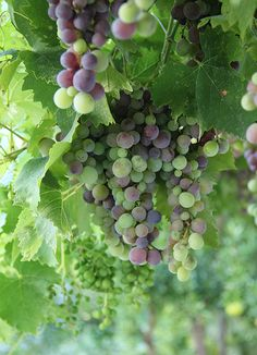 Vineyard fruit in verasion, the ripening of the grapes.....................