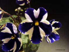 The Chimera African Violet Blog