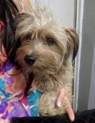 Petfinder Adoptable Dog | Poodle | Nogales, AZ | 55602