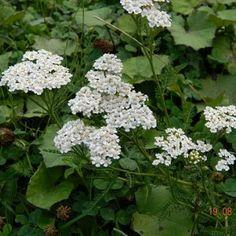 11 plante medicinale pentru un ficat sanatos - Infuzie de Sănătate Calendula, Ayurveda, Good To Know, Healthy Life, Health Fitness, Medical, Fruit, Nature, Plants