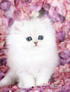 Silver Chinchilla Teacup Persian Kitten on a bed of pink