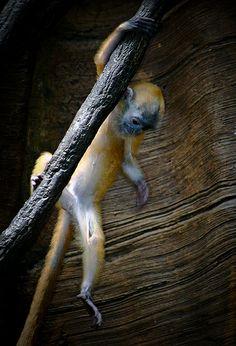 Baby Silver Leaf Monkey