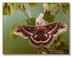 Cecropia Moth - Life Cycle