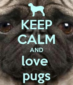 A cute and adorable picture of a pug