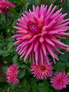 Tutti Fruiti Dahlia at Swan Island Dahlias near Canby Oregon Fruit punch on a stem How better to describe this 5 bloom in a beautiful coral pink color Petals are pointed. Unusual Flowers, Rare Flowers, Amazing Flowers, Beautiful Flowers, Dahlia Flowers, Beautiful Beautiful, Cut Flowers, Gladiolus, Cactus Y Suculentas