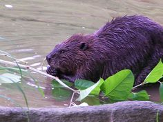 BEAVER at GUNPOWDER FALLS STATE PARK, Maryland by Stephen Wendell Smith, photographer, via Flickr. Picnic, Canoe, Tubing, Hiking, Sight-seeing... You usually only see the beavers working at dawn or dusk tho. Nature. A short drive outside the city.
