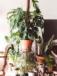 Learn everything there is to know about the Monstera. Including funny facts, all Monstera types, care tips, fixing problems and which price to pay. Monstera Deliciosa, Cool Plants, Green Plants, Sun Plants, Fake Plants, Plantas Indoor, Swiss Cheese Plant, Decoration Plante, Potted Trees