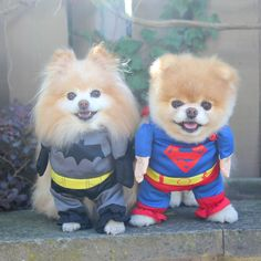 Buddy and Boo Pomeranian Dogs in Batman and Superman Costumes