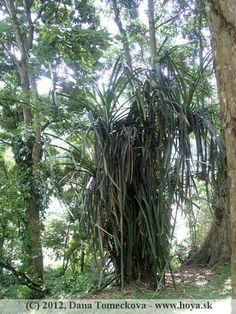 Pandanus Botanical Gardens, Sri Lanka, Green, Flowers, Plants, Plant, Royal Icing Flowers, Flower, Florals