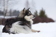Google Image Result for http://eng.royalcanin.com/var/royalcanin/storage/images/breeds/dog-breeds/fci-group-5/chien-finnois-de-laponie/finnish_lapphund_0083/8092153-3-eng-GB/finnish_lapphund_0083_imagelarge.jpg