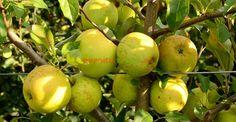 Cum se face altoirea cu ramură detașată, sub scoarța terminală Fruit And Veg, Fruit Trees, Grape Vines, Wisteria, Pear, Home And Garden, Apple, Gardening, Sun
