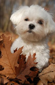 Adorable Maltese puppy