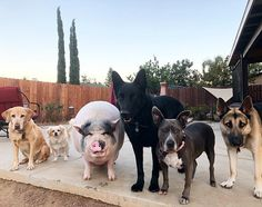 Meet Chowder, The Pet Pig Who Lives With 5 Rescue Dogs And Shelby Madere In California   #animal #california #chowderpig #dog #exoticpet #pet #pig #shelbymadere