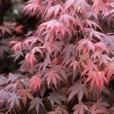 Petit arbre ou grand arbuste à feuilles découpées rouge pourpre puis rouge grenat.