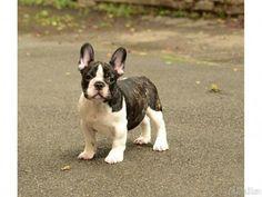 10 Best Miniature Bulldog images | Cute puppies, Dog ...