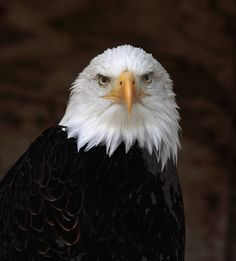 Beautiful eagle Oh! to be able to soar as high as these wonderful creatures. Freedom
